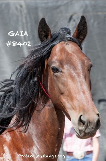 Beautiful Wild Mare Needs Home: Save GAIA (#8402) beauty of the West | Our Evolving Earth | Scoop.it