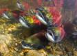 Alaska Salmon: Governor Parnell Seeks Federal Disaster Aid For ...   Fish Habitat   Scoop.it