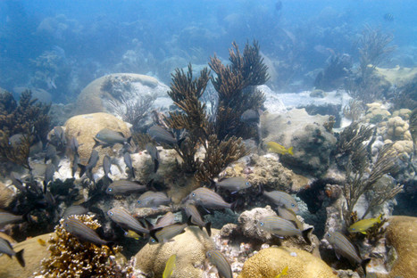 Baby Coral and Fish Can Tell Good Reefs From Bad | Global Aquaculture News & Events | Scoop.it