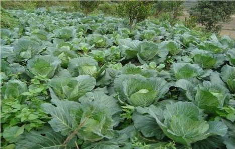 » A cost-benefit analysis for utilization of poultry manure in cabbage production among smallholder crop-livestock farmers International Network for Natural Sciences (INNSPUB) | International Journal of Biomolecules and Biomedicine (IJBB) | Scoop.it