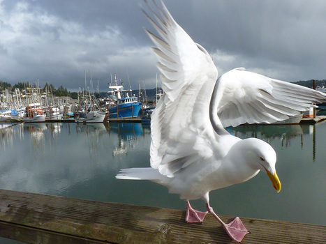 "Seagull Picture – Animal Wallpaper - National Geographic Photo of the Day | ""Cameras, Camcorders, Pictures, HDR, Gadgets, Films, Movies, Landscapes"" 