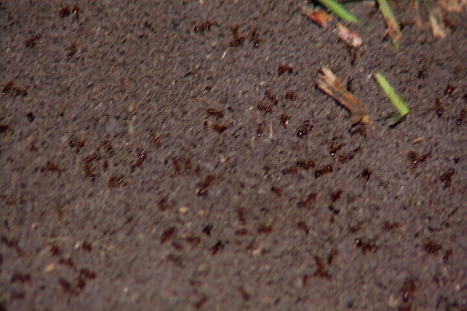 Football Field Incident Puts Spotlight on Ant Allergies | All About Ants | Scoop.it