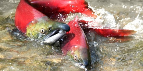 World's Biggest Sockeye Run Shut Down as Wild Pacific Salmon Fight for Survival | Farming, Forests, Water, Fishing and Environment | Scoop.it