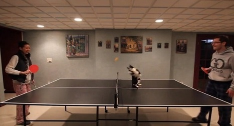 Oreo, le chat qui aime le ping pong   CaniCatNews-actualité   Scoop.it