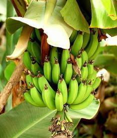 Le chlordécone, ex-insecticide des bananeraies, serait bien cancérigène | Toxique, soyons vigilant ! | Scoop.it