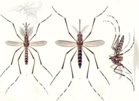 Radiografía del mosquito del zika que tiene en jaque al mundo — Noticias de la Ciencia y la Tecnología (Amazings®  / NCYT®) | Bichos en Clase | Scoop.it