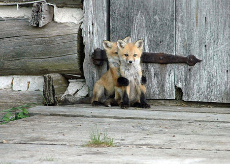6 Breathtaking Wildlife Pictures Of Beautiful Foxes » Fascinating Pics | Inspirational Photography to DHP | Scoop.it