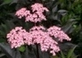 Gardening: Respect your Elder and its wide range of uses - Yorkshire Evening Post | Gardening | Scoop.it