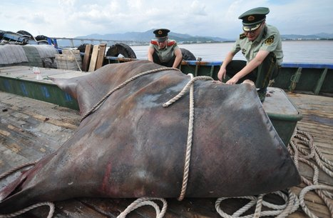 Scientists rush to save manta rays, the 'pandas of the ocean' | ScubaObsessed | Scoop.it