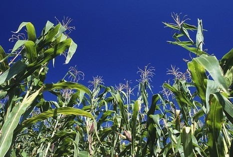 Climate Change Biggest Factor In Corn Price Increases   Climate change challenges   Scoop.it