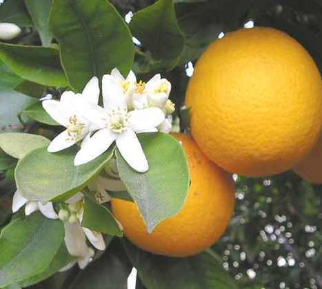 Orange Medicinal Properties: Cough, Stress and Nervousness Remedy | Plantsheal | Scoop.it