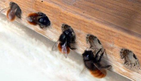 Adoptez des abeilles sauvages et faites un geste pour la biodiversité! | Shabba's news | Scoop.it