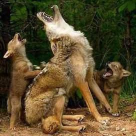 Pero, ¿por qué vale más un toro que un lobo? - El Biocultural   La ecocolumna   Scoop.it