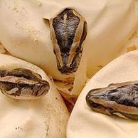 Las primeras serpientes parían en vez de poner huevos   4º de ESO. Bloque 3: La evolución de la vida   Scoop.it