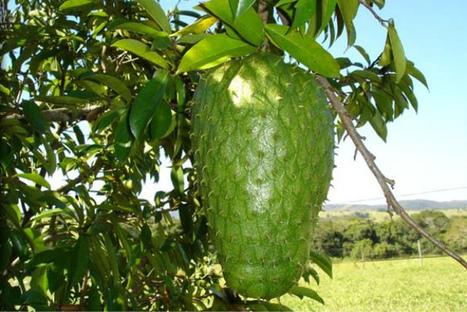 [SALUD NATURAL] Conoce la fruta que mata las células cancerosas | Noticias de ecologia y medio ambiente | Social - Espiritualitat - Ecologia | Scoop.it