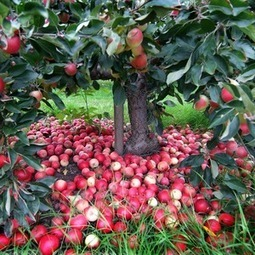 Apple Magic | Benefits of Nature | Scoop.it