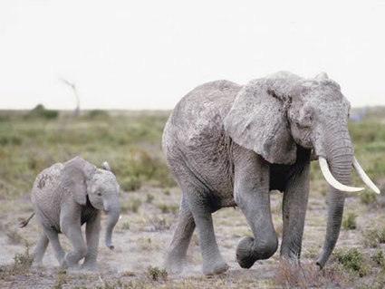 Leaked statistics confirm scale of Tanzania's elephant poaching crisis | Wildlife Trafficking: Who Does it? Allows it? | Scoop.it