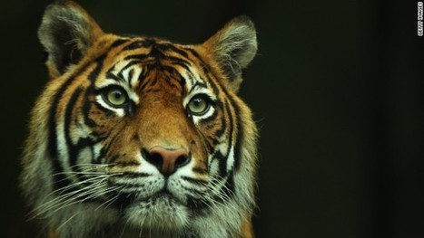 The final days of the Sumatran tiger? | Cats Rule the World | Scoop.it