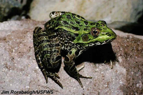 The Monsoon Strategies of the Threatened Chiricahua Leopard Frog | National Geographic | CALS in the News | Scoop.it
