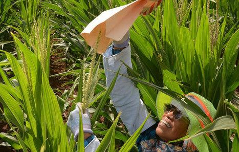 Voters adopt GMO ban - Hawaii News - Honolulu Star-Advertiser | Sustain Our Earth | Scoop.it