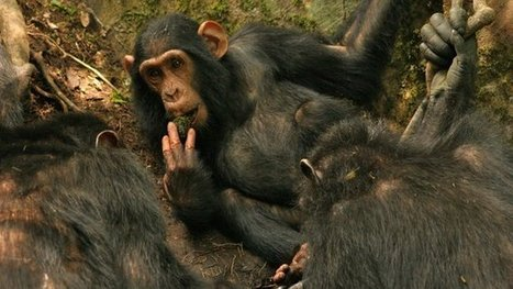 Chimp culture captured on camera | Why Nature Matters | Scoop.it