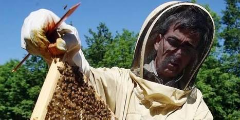 Merbes-le-Château: les abeilles noires en danger | abeille noire | Scoop.it
