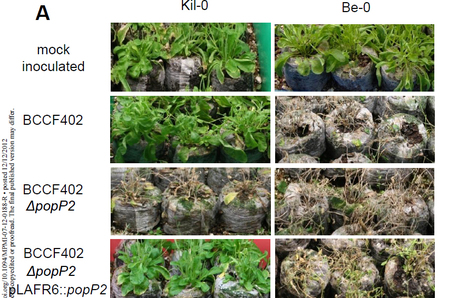 Gene-for-gene tolerance to bacterial wilt in Arabidopsis, in MPMI   plant pathology, bacteria and plants   Scoop.it