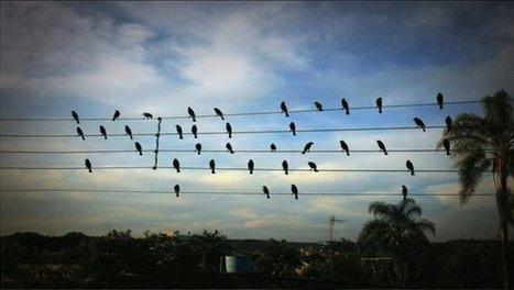 ¿Por qué las aves no se electrocutan en los cables de alta tensión? | Periodismo Científico | Scoop.it
