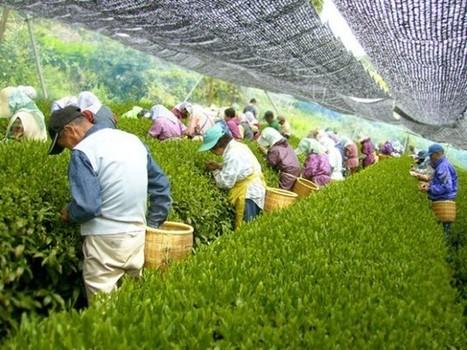 Voyage organisé autour du thé japonais | Actualités de Terre des Thés | Scoop.it