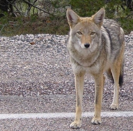Urban Coyotes May Be The Beginning Of Large Carnivores Moving Into Urban Areas | Politically Incorrect | Scoop.it