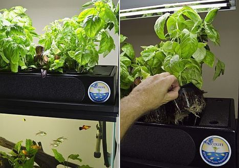 ECOLIFE's Eco-Cycle Aquaponics kit cleans your aquarium, grows fresh herbs - EcoChunk | Aquaponic - Heidelberg | Scoop.it
