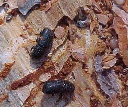 As climate warms, bark beetles march on high-elevation forests | Sustain Our Earth | Scoop.it