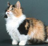 Munchkin Cat | Cat Breeds | Petfinder | Cats & Teapots | Scoop.it