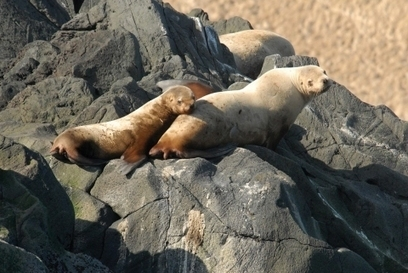 Feds give go-ahead to new Steller sea lion management - Alaskajournal.com | Amocean OceanScoops | Scoop.it