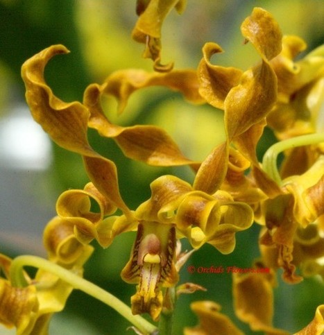 Canary Orchid (Dendrobium discolor) | Orchids & Flowers | Scoop.it