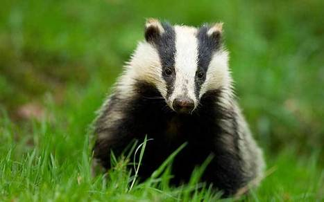 Labour 'took badger group's cash' - Telegraph | The Indigenous Uprising of the British Isles | Scoop.it