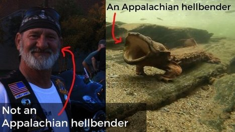 Is that a rock? Look again. It's an Appalachian hellbender, and finding one is a big deal. | enjoy yourself | Scoop.it