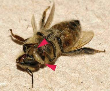 Devenues zombies, des abeilles parasitées sortent la nuit | EntomoNews | Scoop.it