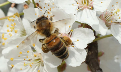 Insecticide firms in secret bid to stop ban that could save bees | Sustain Our Earth | Scoop.it