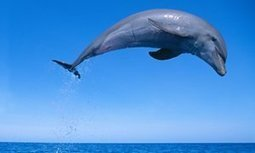 These dolphins talk to each other. Why do we insist it isn't language? | News for IELTS + Class Discussion | Scoop.it
