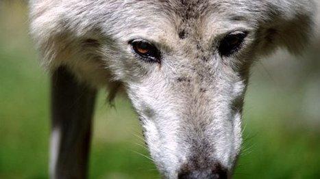 En Savoie, la proposition de déclassement du loup rassure les éleveurs - France 3 Alpes | Loup | Scoop.it