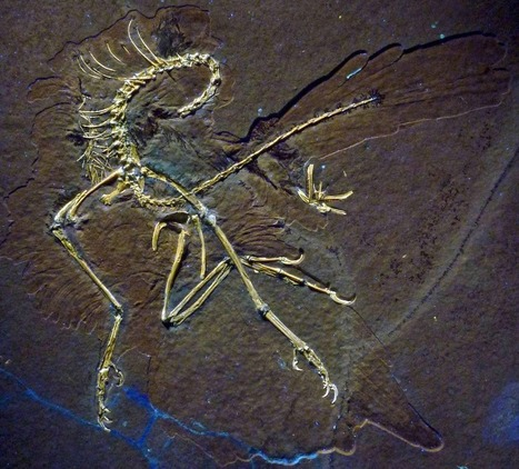 New Fossil Suggests More Complex Evolution for Feathers and Flight | What's Up With Birds | Scoop.it