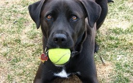 Tennis Balls Can Be Dangerous for Dogs | Natural Pet Care | Scoop.it