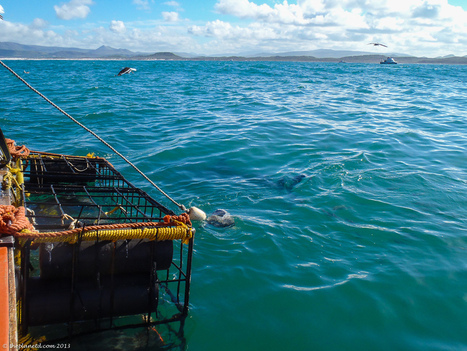 Shark Diving, In the Cage with Great Whites | Travel Blog | ThePlanetD | Adventurous Lives | Scoop.it