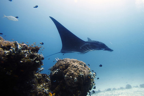 In #Indonesia, Big Moves to #Protect #BigFish ~ WSJ | Rescue our Ocean's & it's species from Man's Pollution! | Scoop.it