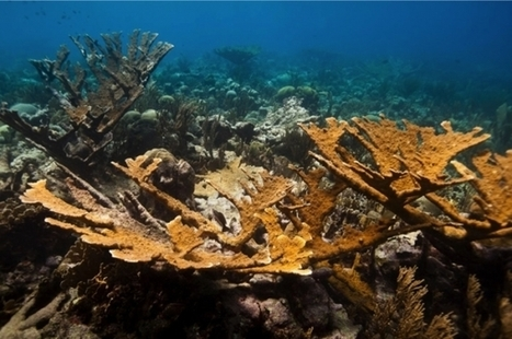Corals Grown in Labs Help Restore Critically Endangered Reefs | All about water, the oceans, environmental issues | Scoop.it