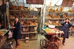 Yet another avian influenza virus, H10N8, infects humans | Influenza | Scoop.it