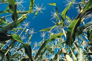 China's corn rush to redraw global food landscape - Business LIVE | Food issues | Scoop.it
