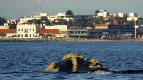 Se lanza hoy la 11.ª Temporada de Avistamiento de Ballenas en Uruguay   Prensa Ambiental VSUy   Scoop.it