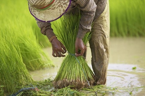 Rice was domesticated three times across Asia, not once in China | Agricultural Biodiversity | Scoop.it